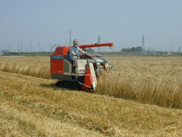 はだか麦刈入れ風景5月